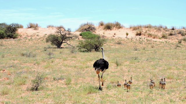 Ostrich  in the Kgalagadi Transfrontier Park