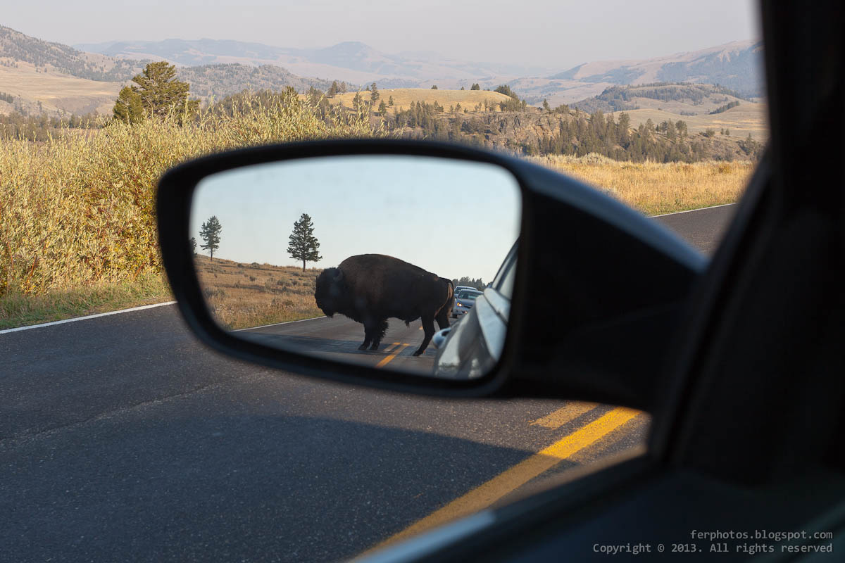 Yellowstone National Park Wyoming US USA buffalo bison rear mirror car road traffic wild life