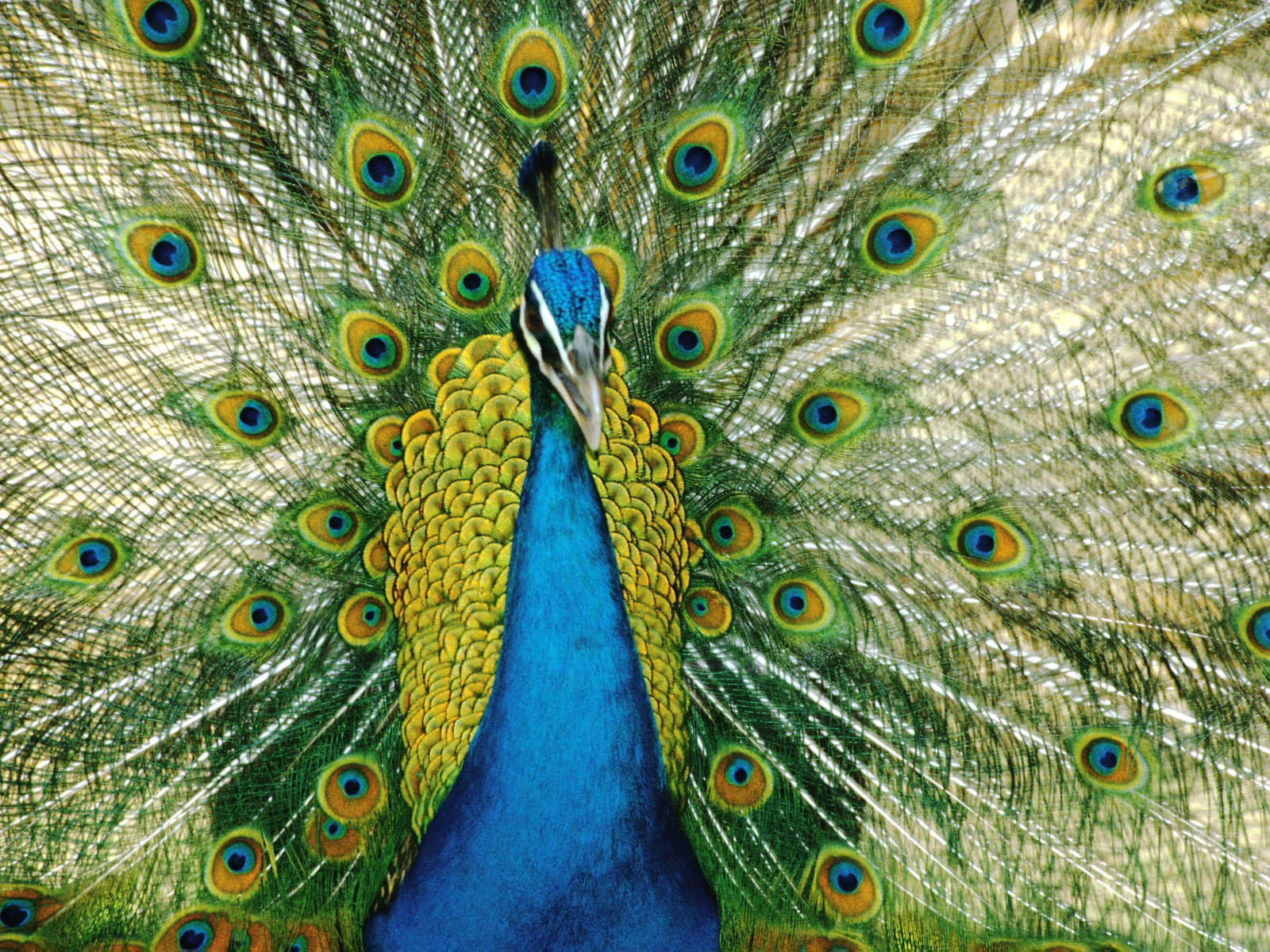 Peacock wallpapers - photo#13