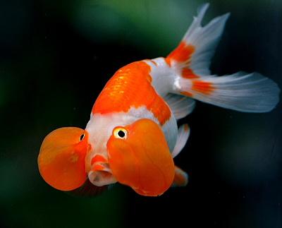 bublexb4 Japon Balıkları
