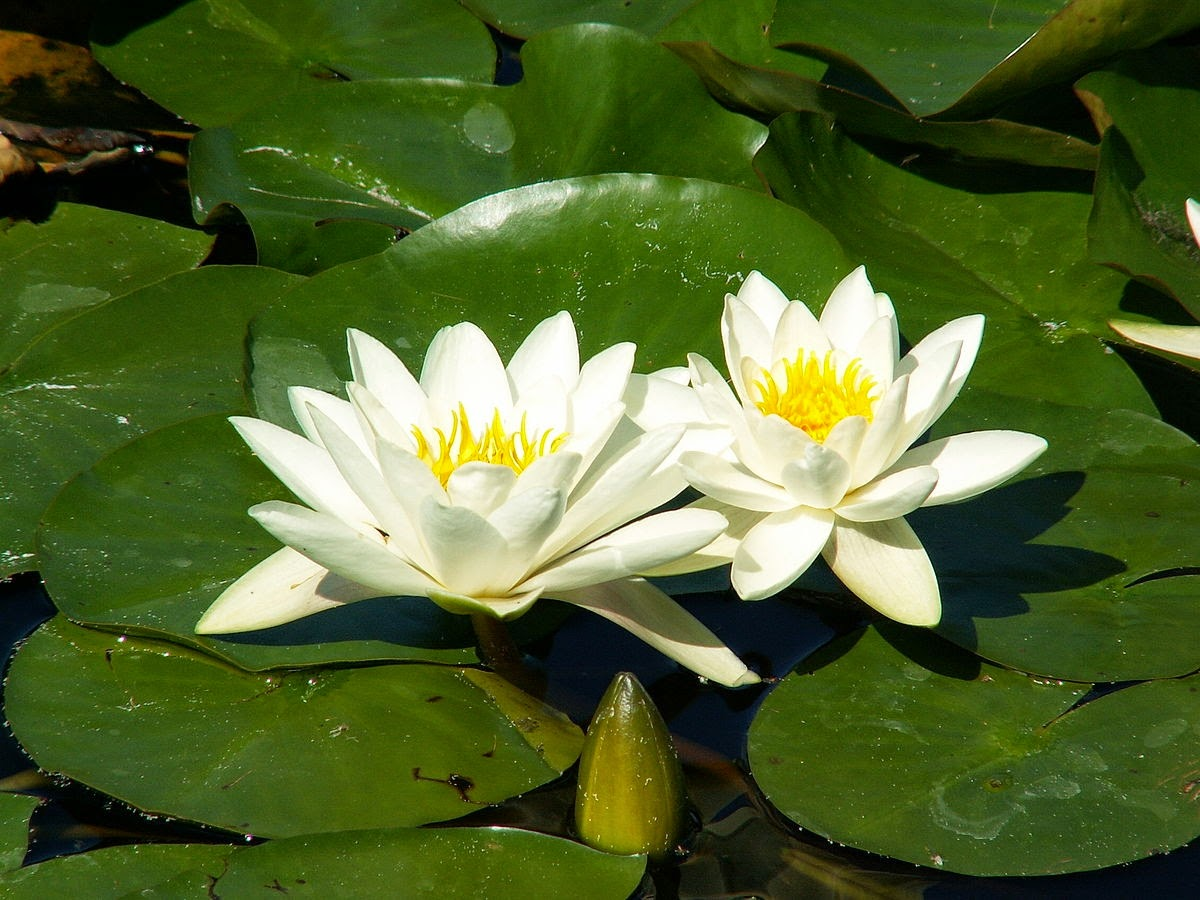 Ancient food and farming can water lilies provide a useful food izmirmasajfo
