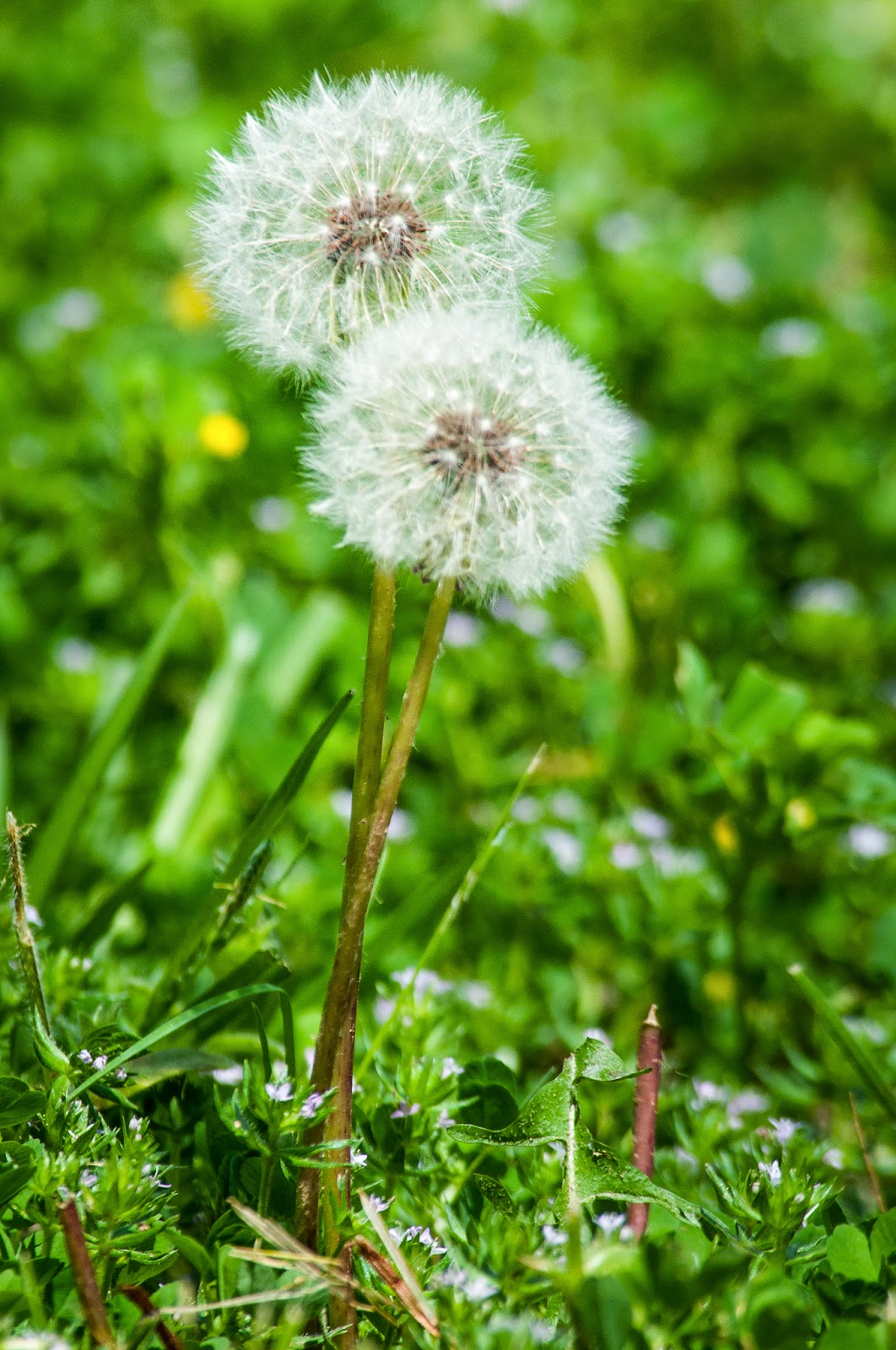 Dandelions, Colleyville Nature Center