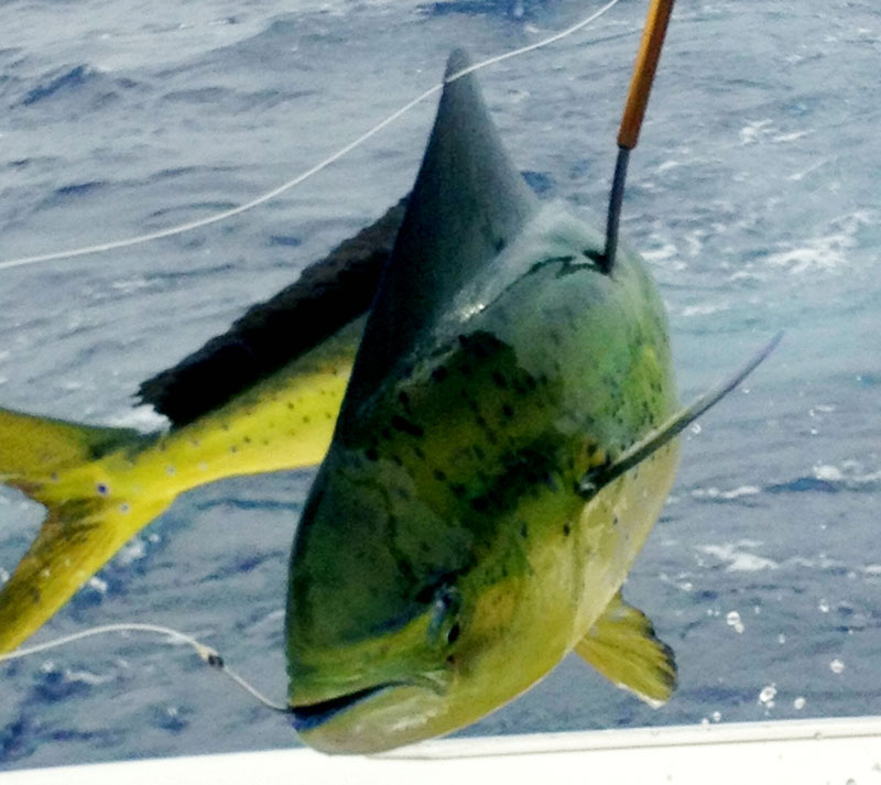 Maui fishing charters today 39 s fresh catch maui sport for Fishing in maui