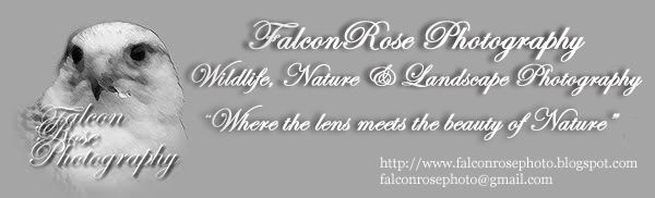FalconRose Photo 365