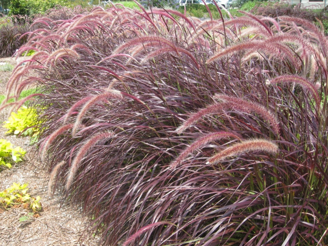 All the dirt on gardening new pennisetum grasses for our for Red landscaping grass