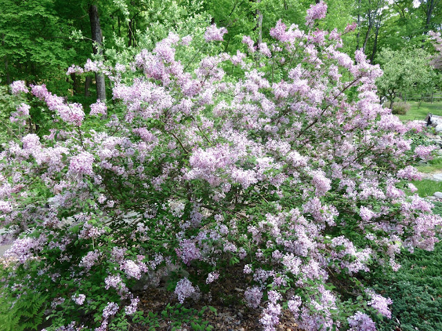 how to start a lilac bush