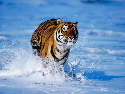 Tiger Running Pictures