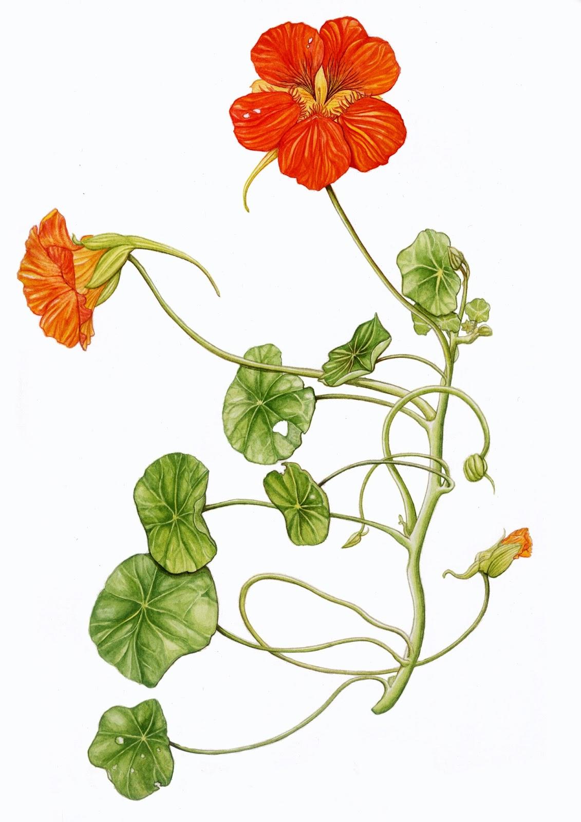 Illustrations botaniques capucine et cyclamen - Coloriage fleur capucine ...
