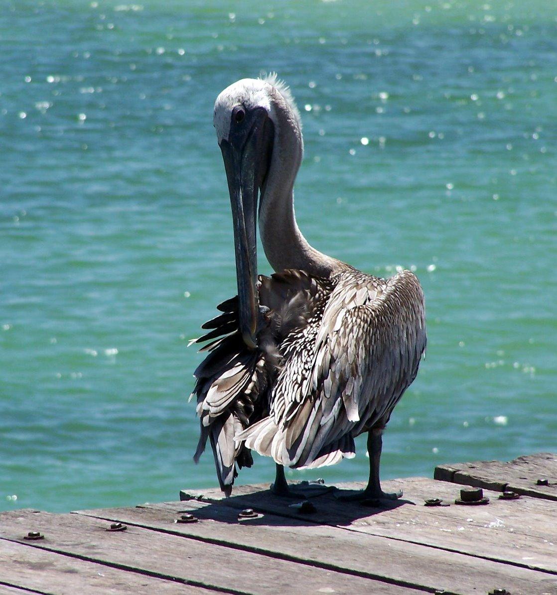 O Pelicano Na Maçonaria Los Tejos Milenarios: ...