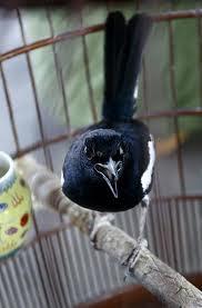 Kunci sukses penangkaran burung