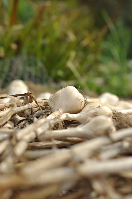 hvidløgshøst,høstede hvidløg,