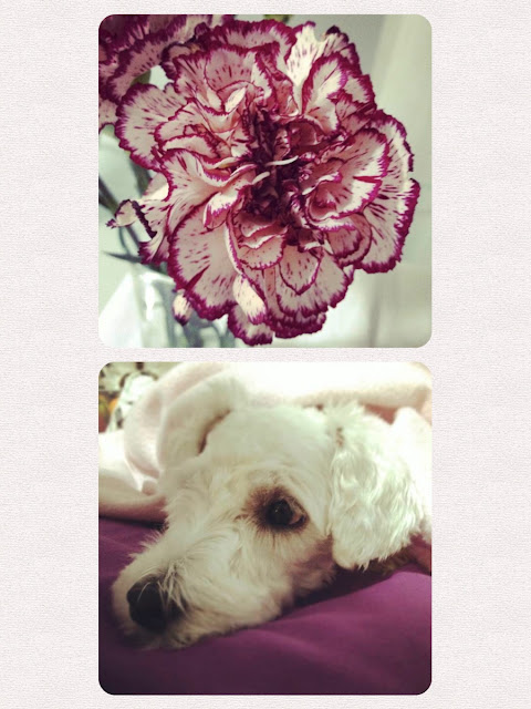 foto schnauzer flor