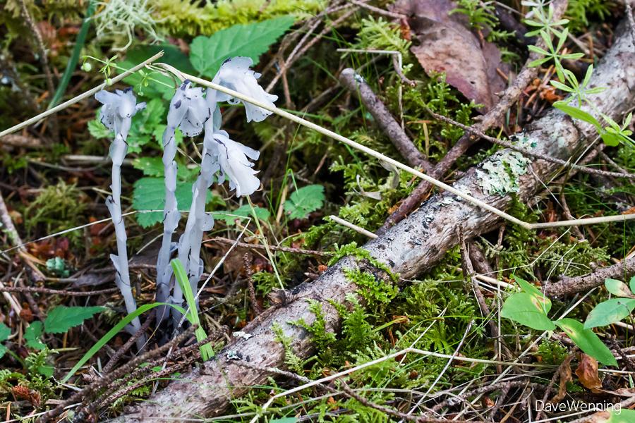 Ghost Plant (Monotropa uniflora)