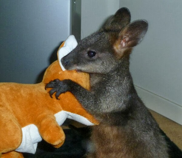 Funny animals of the week - 27 December 2013 (40 pics), baby kangaroo an stuffed animal