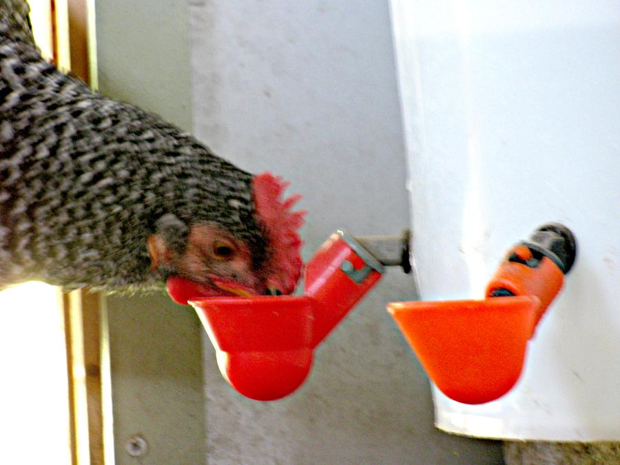8 Chicken Drinker Cups poultry water drink hen waterer cup bowl feeder Beaktime