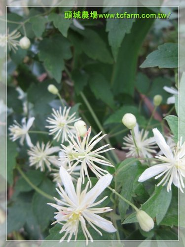 Toucheng leisure farm clematis grata or gourian clematis look again and feel nature at its best mightylinksfo