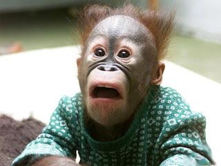 orangutang baby