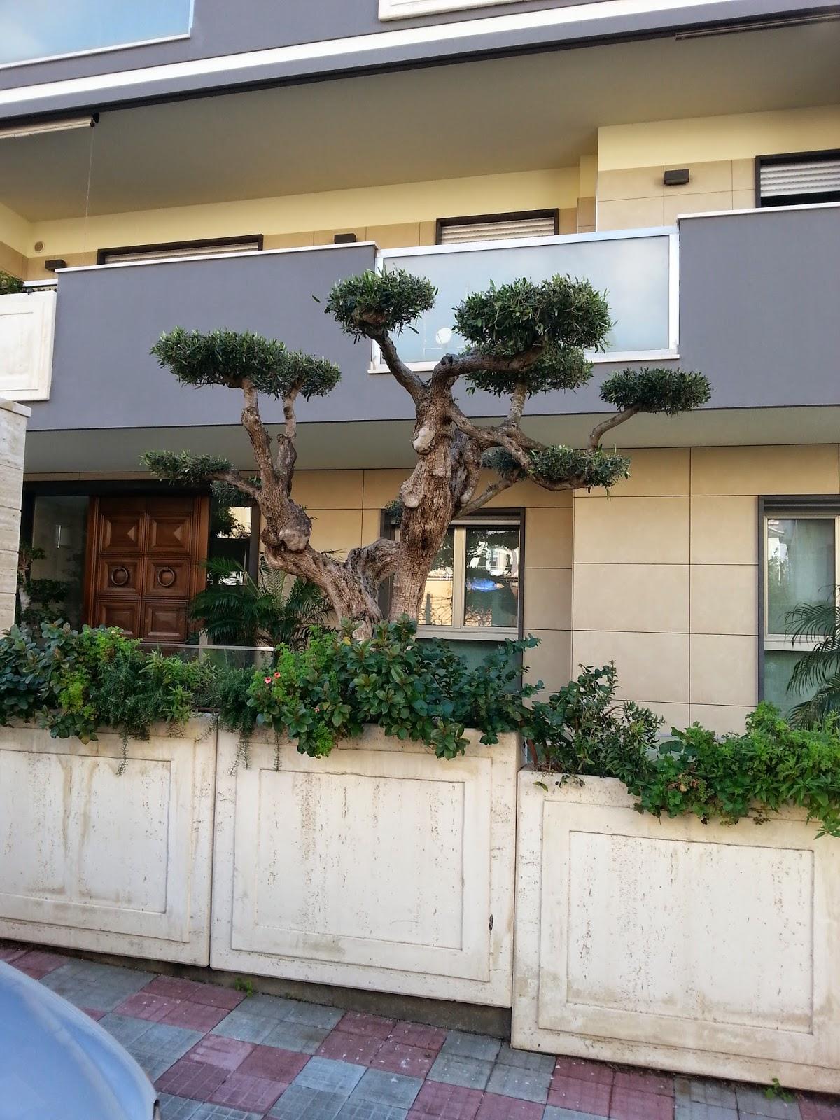 Cagliari in verde i macro bonsai di ulivo for Bonsai di ulivo