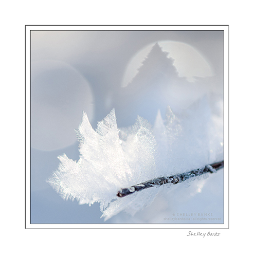 A twig, glittering with hoar frost crystals  photo © Shelley Banks, all rights reserved.