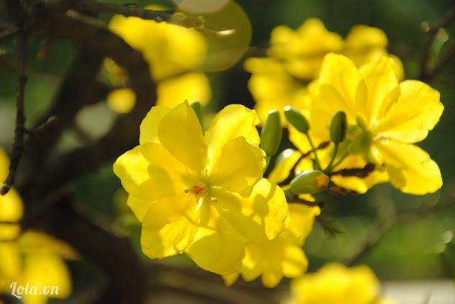 Ảnh đẹp mai vàng ngày tết nguyên đán - Hình 9