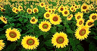 https://fr.wikipedia.org/wiki/Tournesol