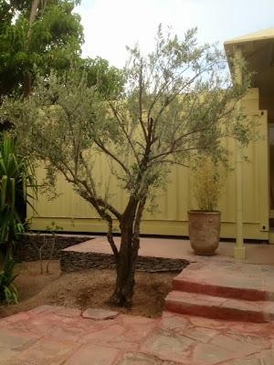 Une nouvelle vie pour un olivier à côté du restaurant La Pergola