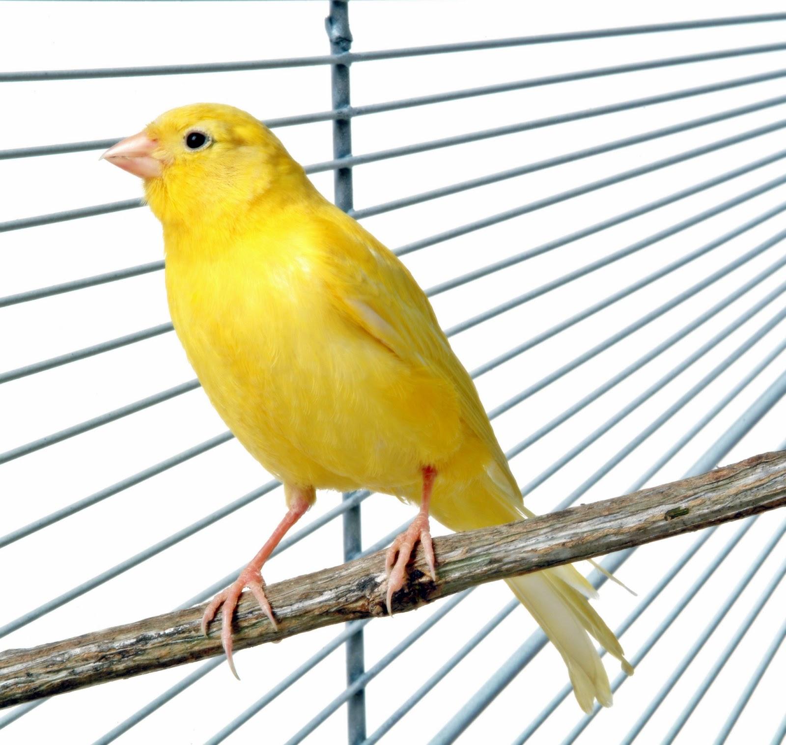 Mp3 Suara Burung Kenari