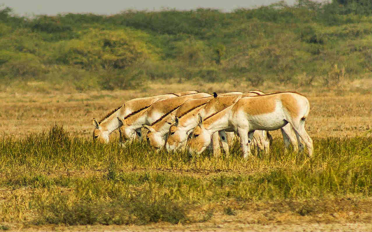 Indian Wild Ass grazing together