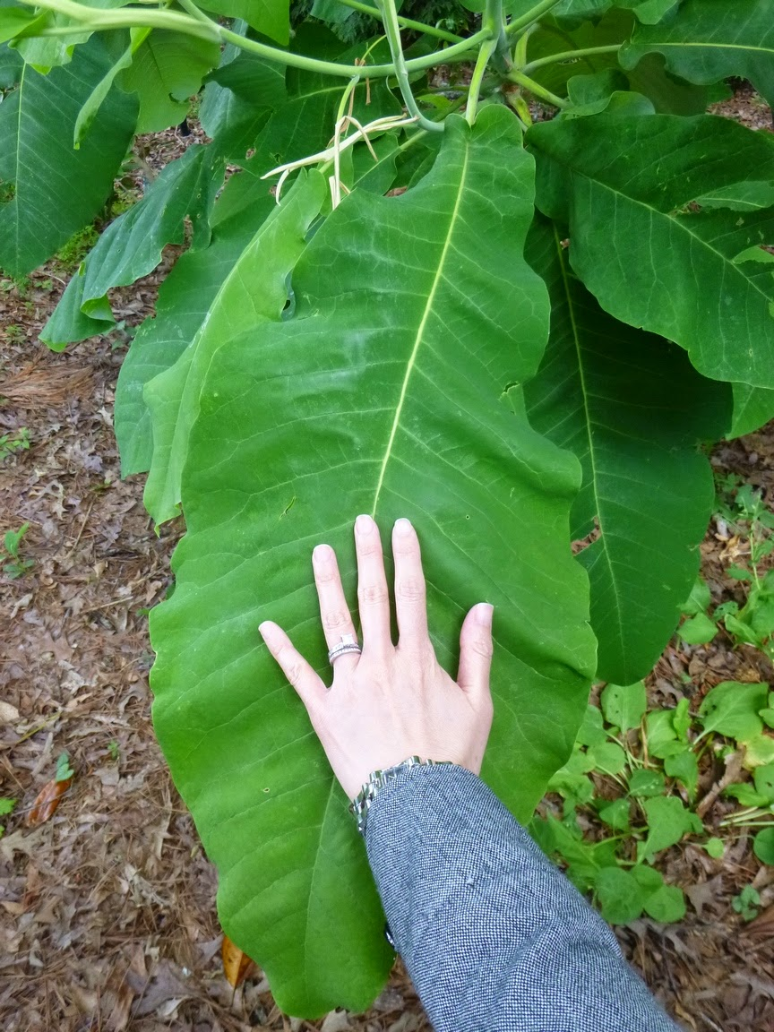 Hand and Bigleaf Magnolia