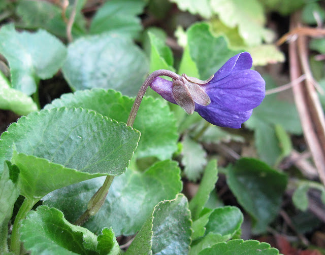 Sweet Violet, Viola odorata.  Dark-violet-flowered variety. One Tree Hill, 17 March 2012.