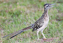The Roadrunner