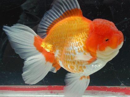 Animali e natura animali domestici il pesce rosso for Pesce oranda