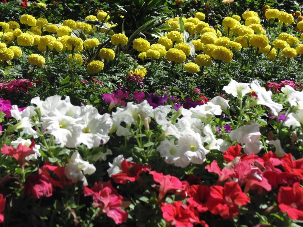 Border of tagetus and petunia