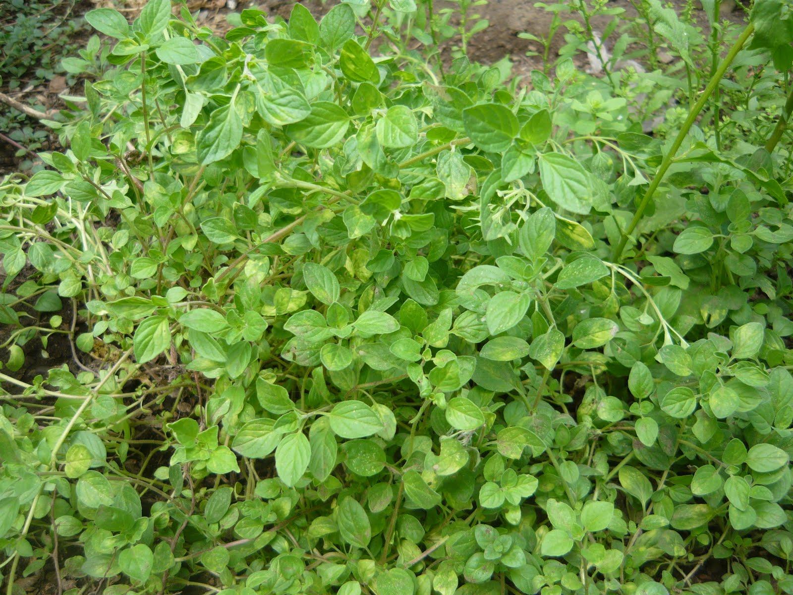 Alternativa ecol gica principales hierbas arom ticas y for Asociacion de plantas aromaticas