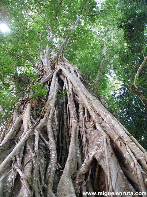 Ficus-Altissima-Angkor-Camboya