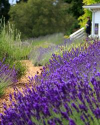 Organic Lavender at Pelindaba Lavender Farm