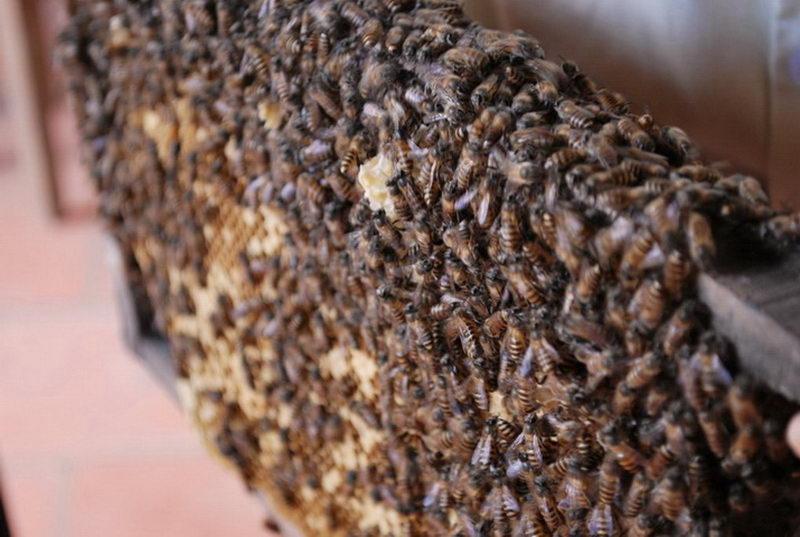 Giới thiệu nghề nuôi ong lấy mật
