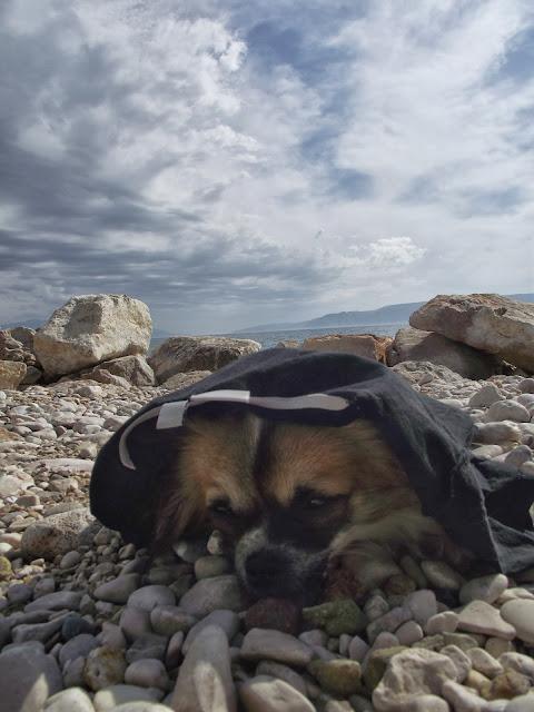 Chihuahua plaża
