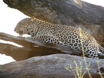 Leopard at Sambura National Reserve, Kenya
