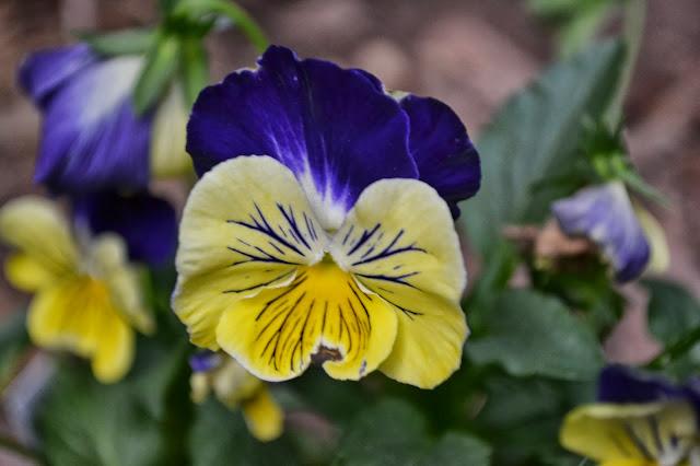 pansies, violas, http://growingdays.blogspot.com