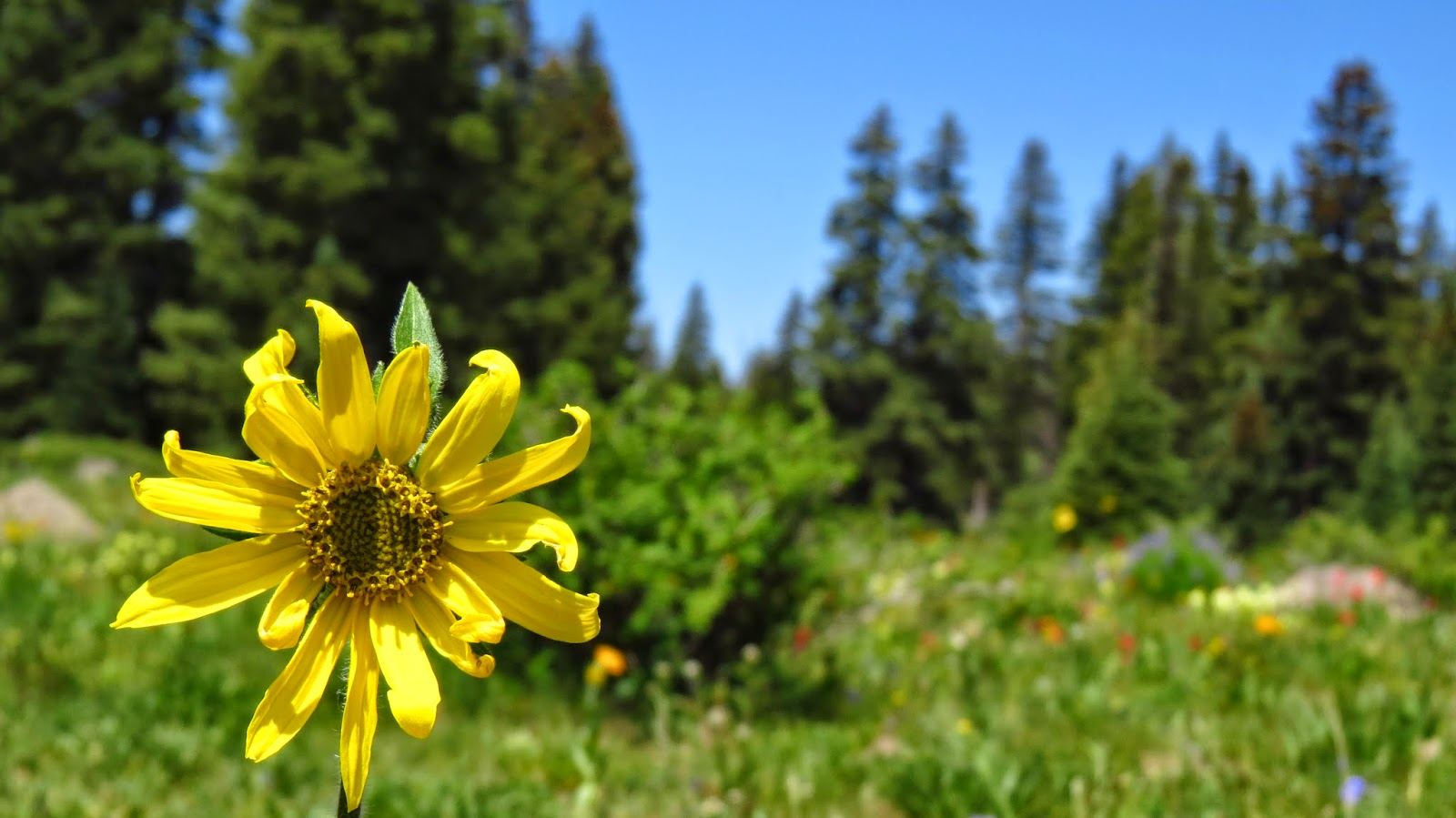 Wild flowers in bloom on Grand Mesa