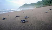 wisata banyuwangi, pantai sukamade, pelepasan penyu