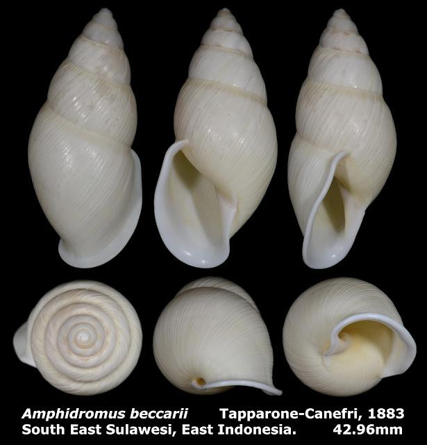 Amphidromus beccarii 42.96mm