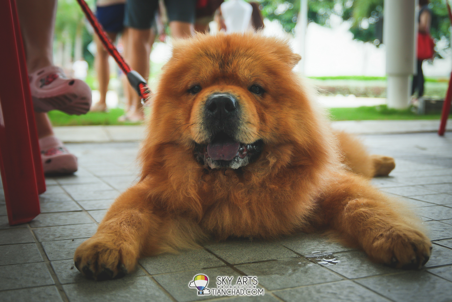 Drooling Chow Chow