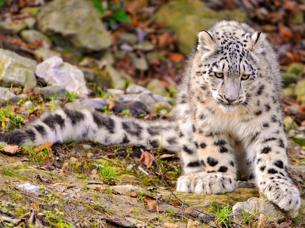 snow leopard Snow leopard: snow leopard, large long-haired asian cat that inhabits the mountains of central asia and the indian subcontinent.