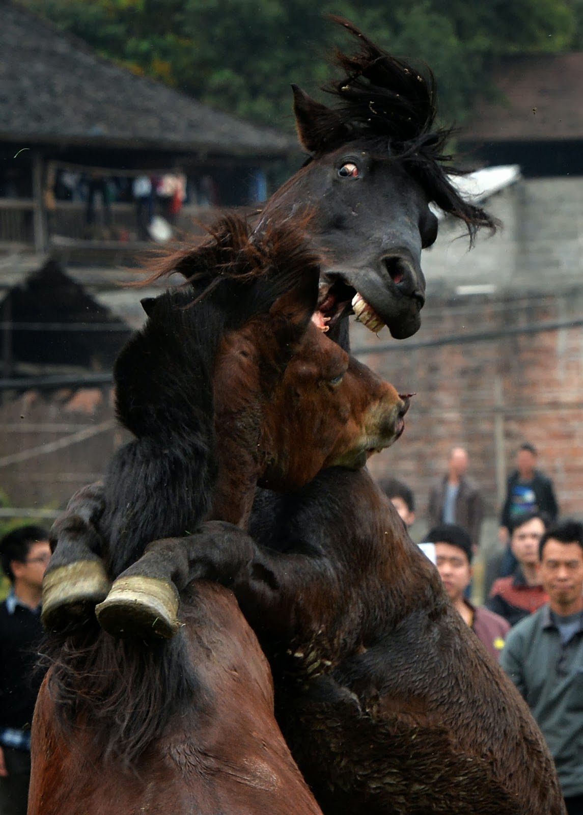 Animal, China, Competition, Guangxi, Horse, Horse Fighting, Lifestyle, Lunar, Lunar New Year, Miao Minority, New Year, Rights, Sports, Stallions, Tradition, Wildlife, Year of Horse,