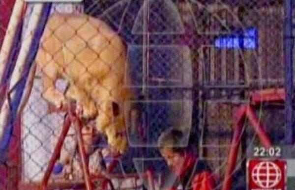 Guru masuk kandang singa mahu buktikan haiwan itu tak bahaya