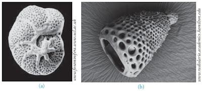 Foraminifera Radiolaria