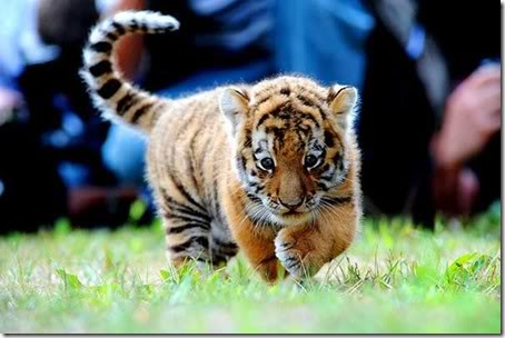 Cute tiger pictures - photo#4