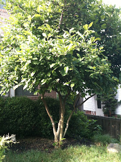 Tree in my backyard where I apply Winchester Gardens tree fertilizer spikes